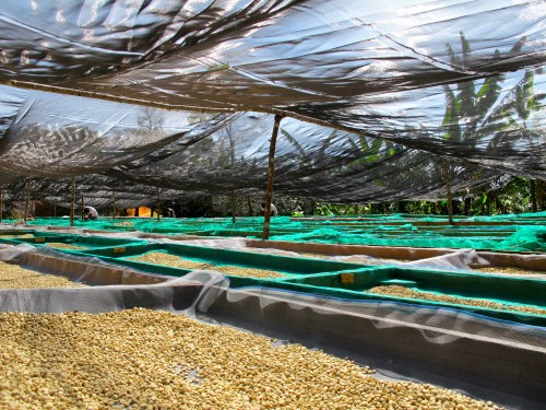 Coffee beans on their drying beds