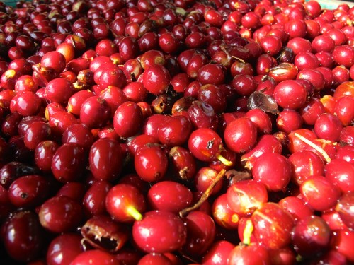 Ripe cherries ready for processing