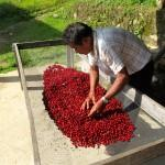 Fidel doing an inspection of the cherries prior to getting depulped