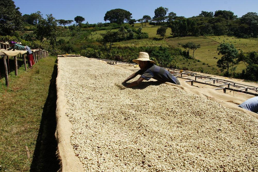 Coffee drying in Agaro